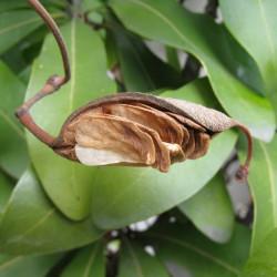 Stenocarpus sinuatus par Nadiatalent de Wikimedia commons