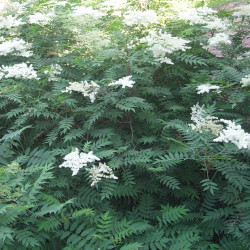 Sorbaria Sorbifolia par Fanghong de Wikimedia commons