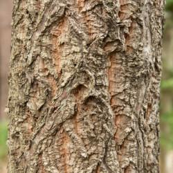 Quercus variabilis de Σ64, CC BY 3.0, via Wikimedia Commons