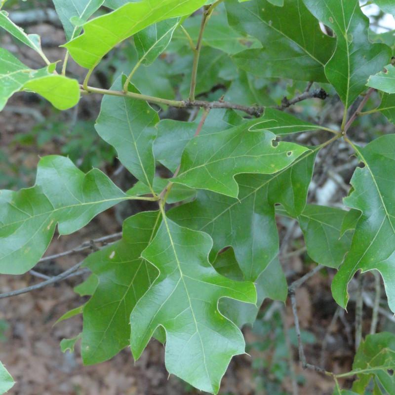 Quercus georgiana de Adellefrank, CC BY-SA 4.0, via Wikimedia Commons