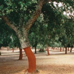Quercus suber de Cillas, CC BY-SA 4.0, via Wikimedia Commons