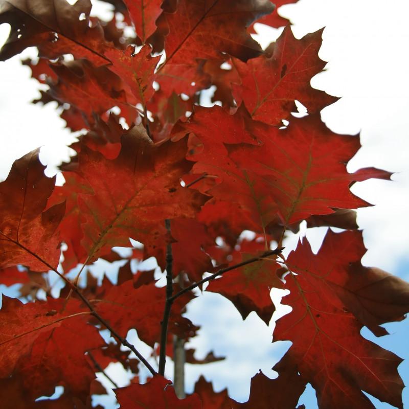 Quercus rubra de David J. Stang, CC BY-SA 4.0, via Wikimedia Commons