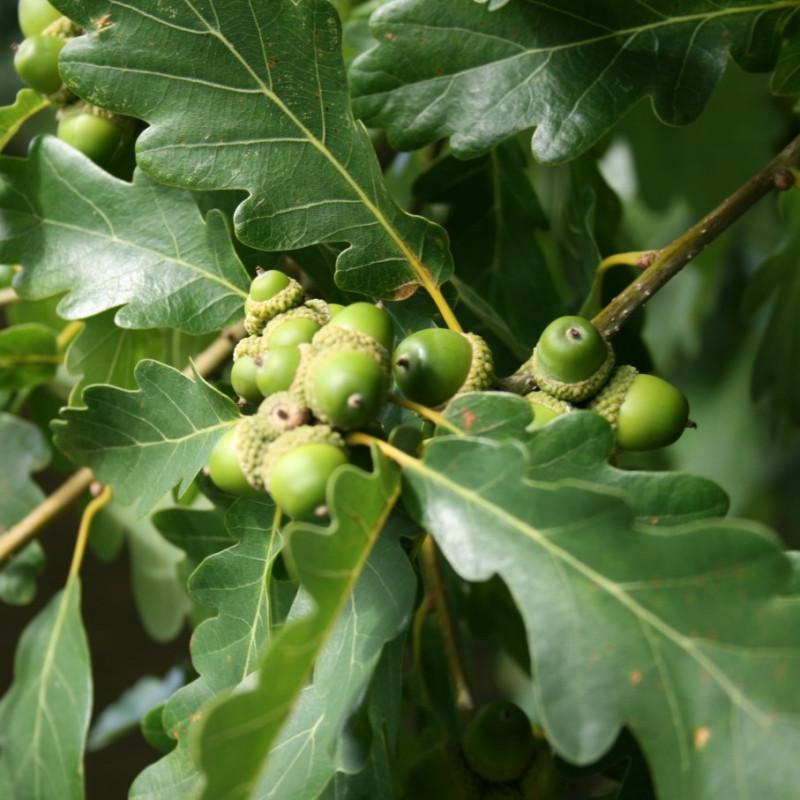 Quercus petraea de Sten, CC BY-SA 3.0, via Wikimedia Commons