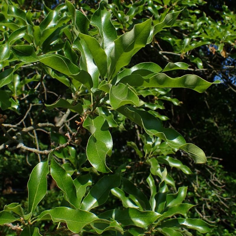 Quercus imbricaria de Krzysztof Ziarnek, Kenraiz, CC BY-SA 4.0 via Wikimedia Commons