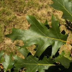 Quercus velutina de Willow, CC BY-SA 3.0, via Wikimedia Commons