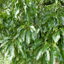 Quercus acutissima de Σ64, CC BY 3.0, via Wikimedia Commons