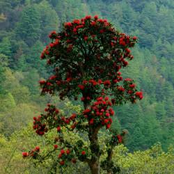 Rhododendron arboreum de Mario Biondi writer, CC BY-SA 3.0, via Wikimedia Commons