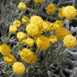 Santolina chamaecyparissus par Stan Shebs de Wikimedia commons