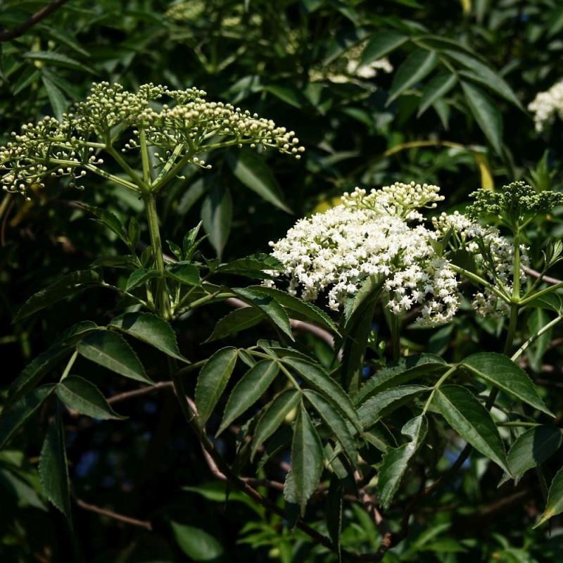 Sambucus canadensis par Franz Xaver de Wikimedia commons