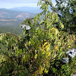 Sambucus caerulea sur Wikimedia commons