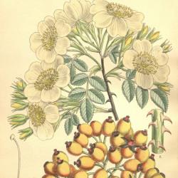 Rosa soulieana par M. Smith de Wikimedia commons