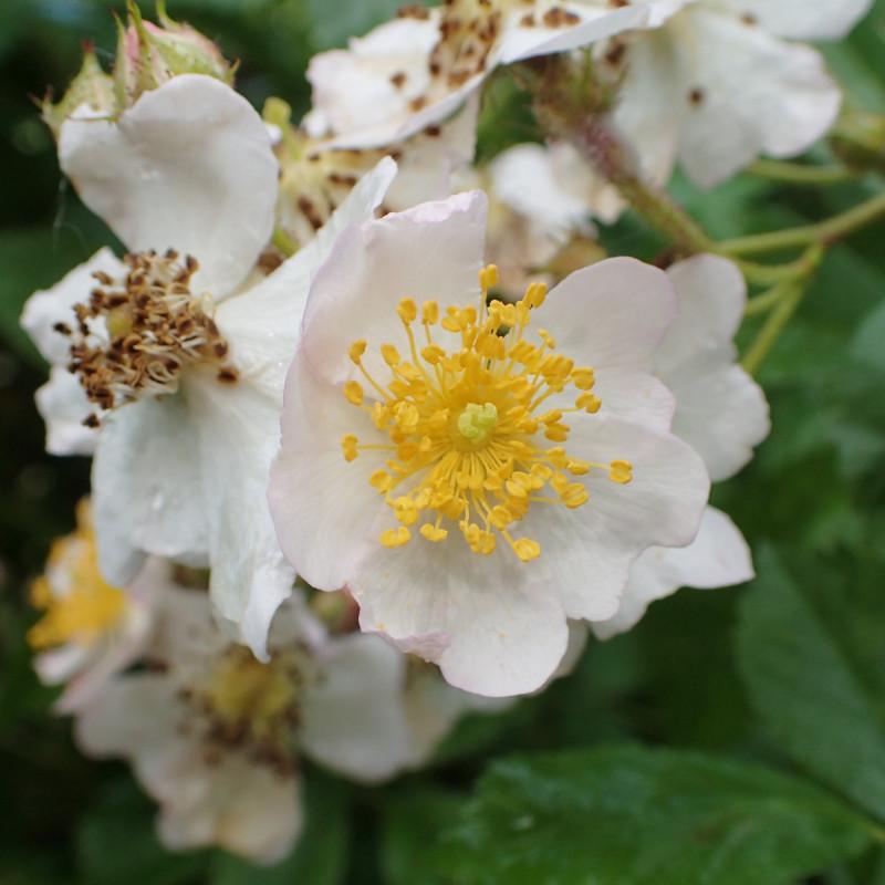 Rosa multiflora par Krzysztof Ziarnek, Kenraiz de Wikimedia commons