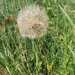 Tragopogon pratensis par Semences du Puy
