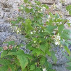 Rubus idaeus Semences du Puy
