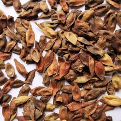 Graines d'Acer pennsylvanicum - Semences du Puy