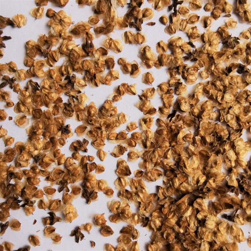 Graines de Betula fetisowii - Semences du Puy