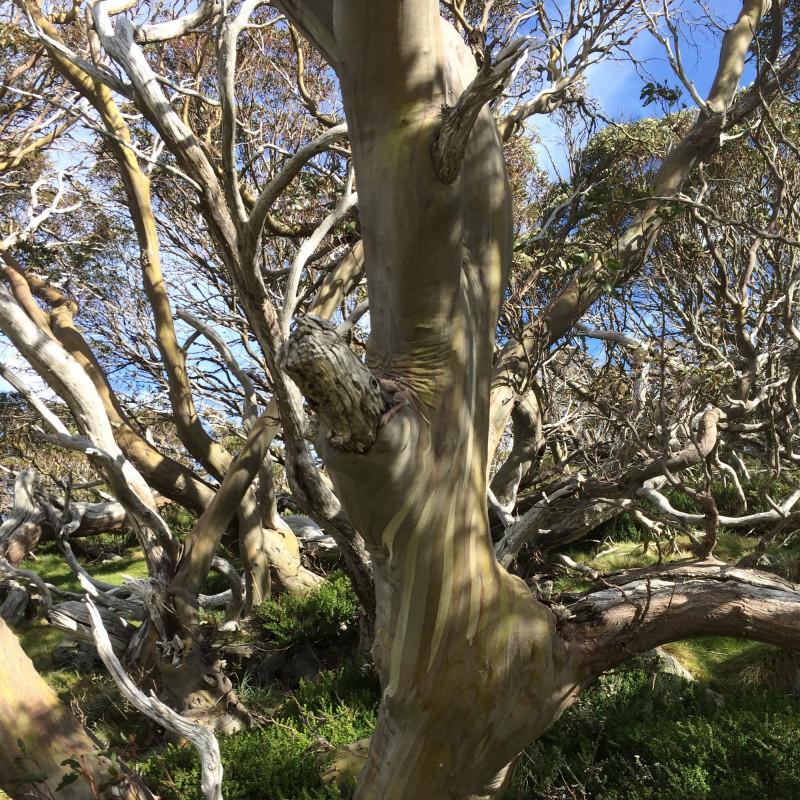 Eucalyptus alpina par mousson0 de Wikimedia commons