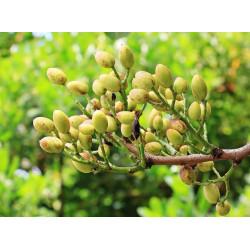 Pistachier semences - Graines de Pistacia - Semences du Puy